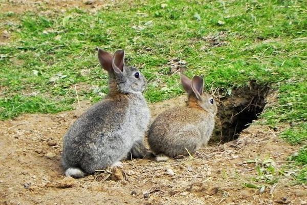 Conejos declarados en peligro d extinción