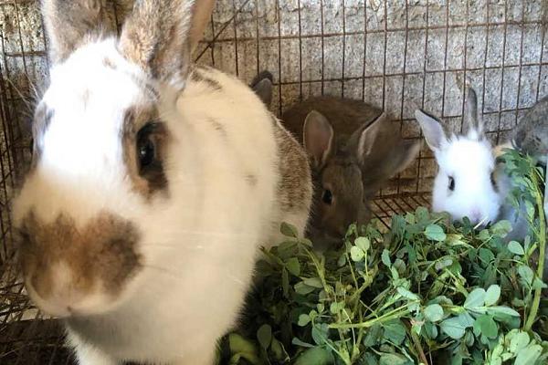 Conejos en jaulas