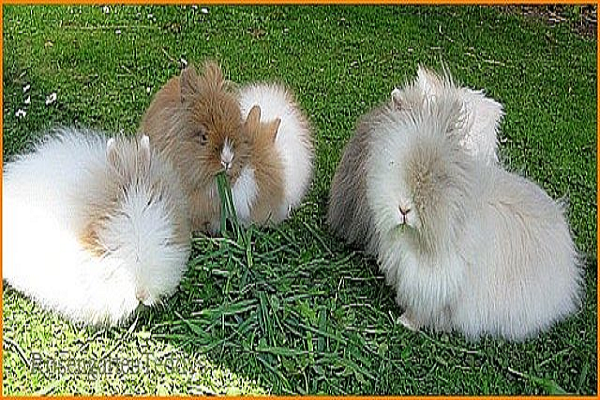 Conejo teddy