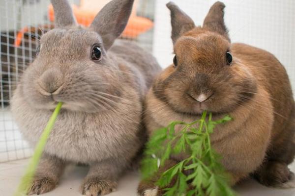 Que verduras pueden comerlos conejos
