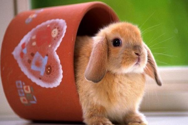 Comprar o adoptar un conejo como mascota