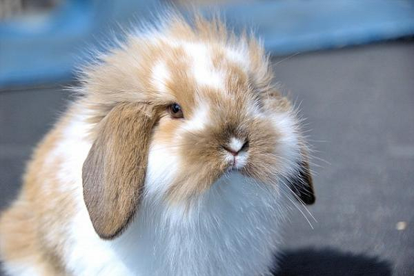 ¿Elegir un conejo enano macho o hembra?