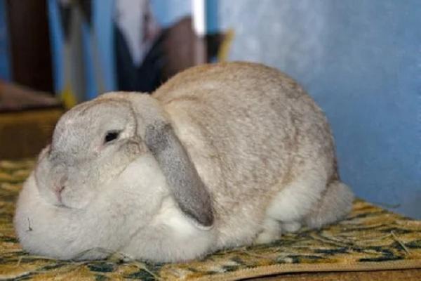 Obesidad en los conejos