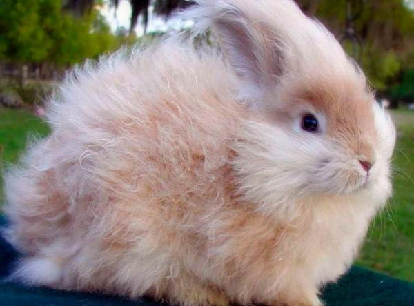Características de un conejo macho