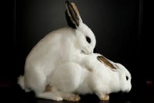 ¿Cuántas veces tiene que pisar a una coneja para que quede preñada?