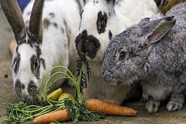¿Por qué la coneja no se deja montar?