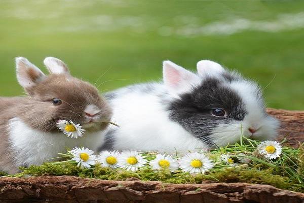 ¿Cómo saber si un conejo es macho o hembra?