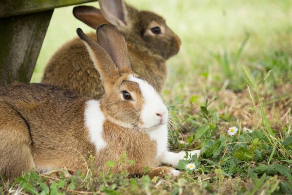 Características del conejo