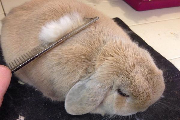 Bolas de pelo en el estómago de mi conejo