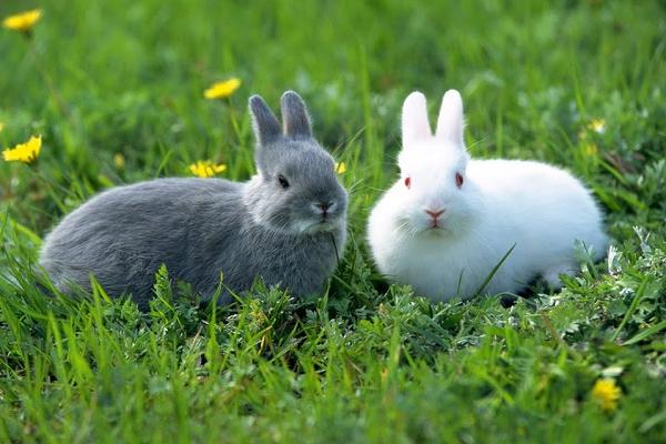¿Cómo saber cuándo una coneja está lista para aparearse?