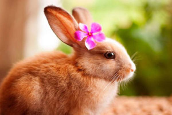 ¿Qué pasa cuando se castra un conejo?