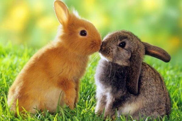 Porque la esterilización de conejos