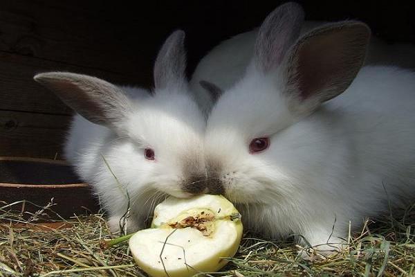 Como hacer alimento para conejos