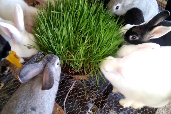 Que es el heno para conejos