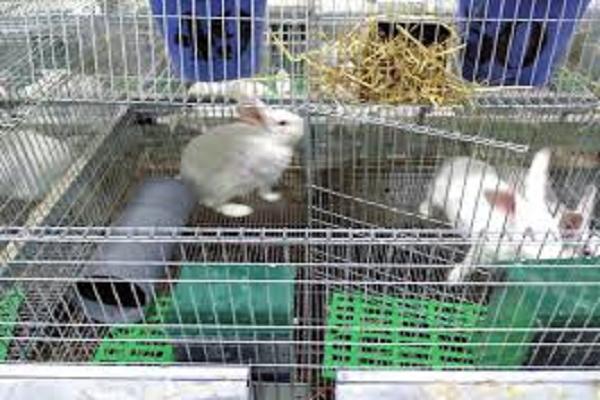 Que es la pododermatitis en conejos