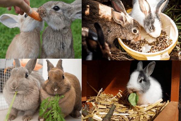 Alimentación de conejos de engorde