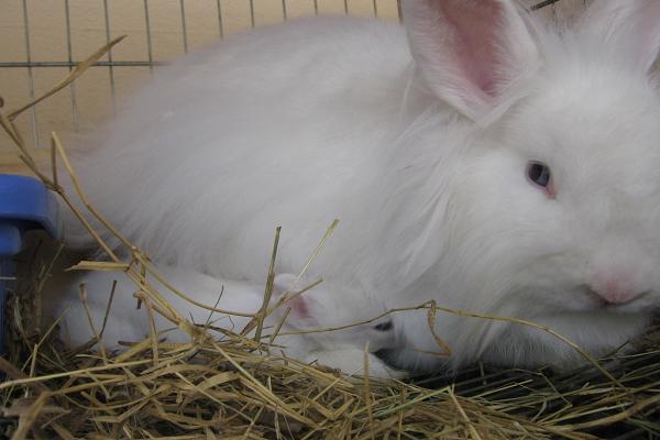 Como saber si un conejo está embarazado
