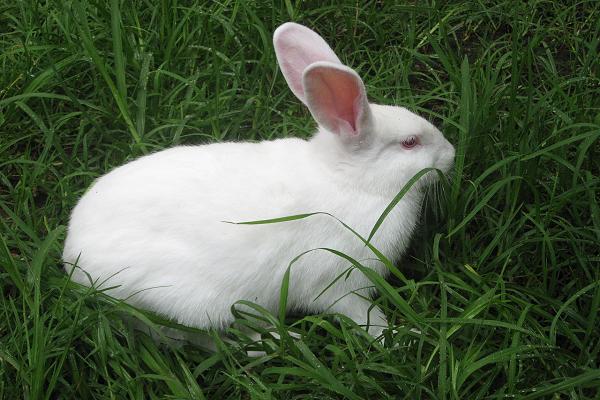Heno casero para conejos