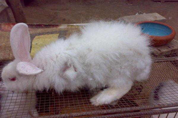 Que produce la caída de pelo en conejos