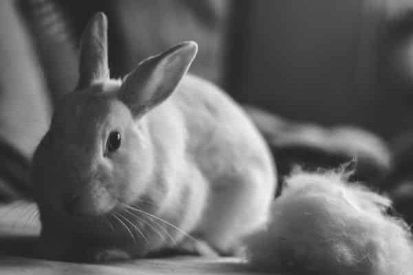caída de pelo en conejos
