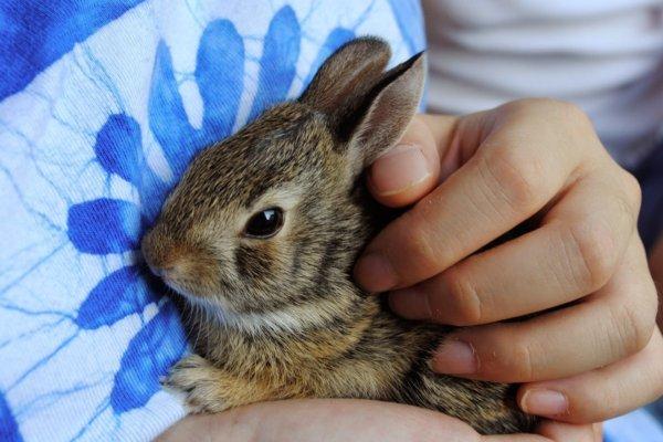 Como limpiar las orejas de un conejo