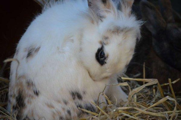 Que causa la mastitis en conejos