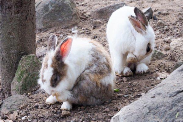 Coccidiosis en conejos