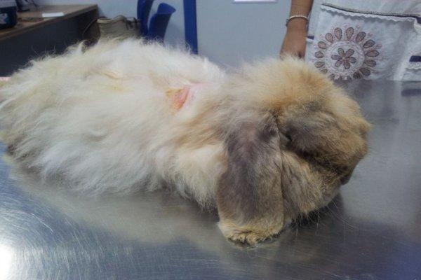 ¿Cómo hacer que no se le caiga el pelo a un conejo?