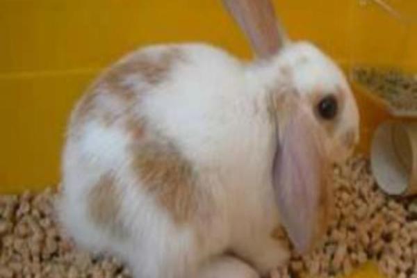 Significado del color de orina de un conejo