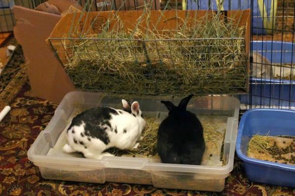 Remedios caseros para un conejo estreñido