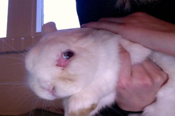 ¿Cómo curar la conjuntivitis en los conejos?