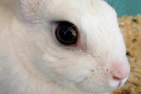 Remedios caseros para conjuntivitis en conejos