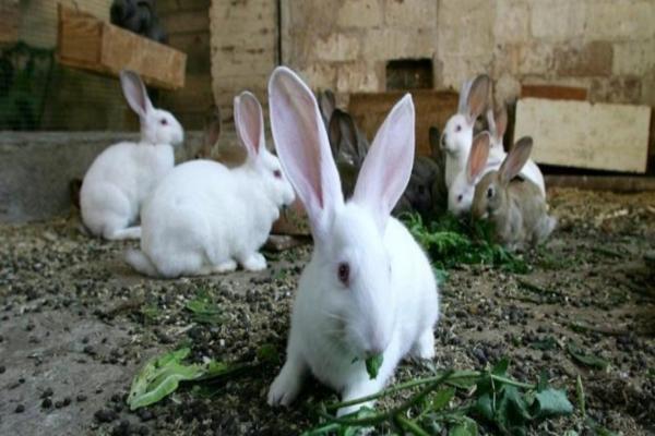 Que pasa cuando tu conejo orina rojo