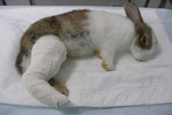 ¿Qué pasa si se le rompe una pata a un conejo?