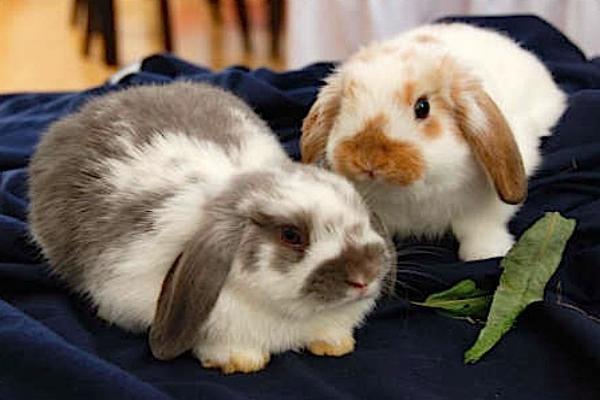 El conejo holland lop características