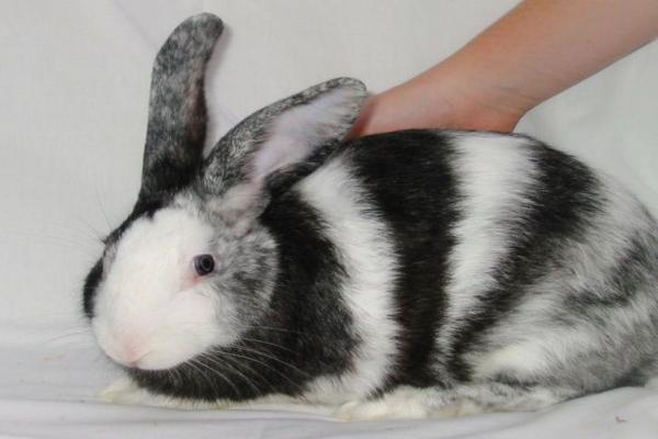 Origen del conejo arlequín