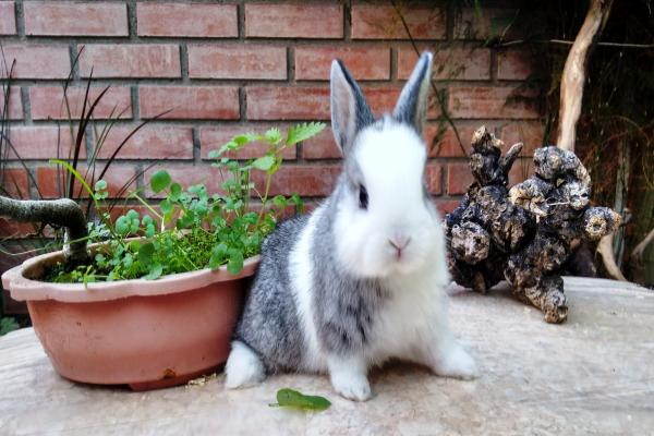 Conejos polaco