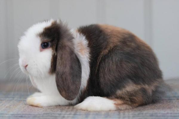 Cual es el origen del conejo arlequín