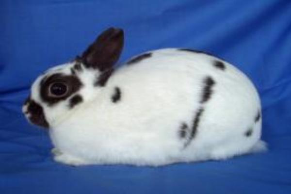 Origen de la raza de conejo polaco