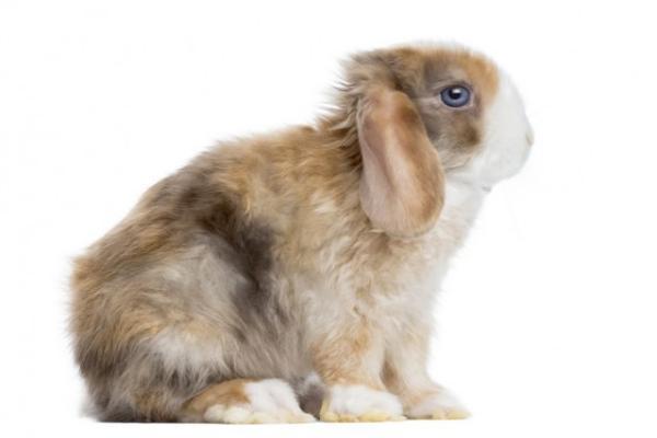 Conejo Mini Satins