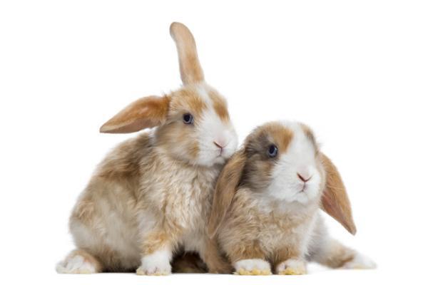 Comportamiento del conejo mini satins