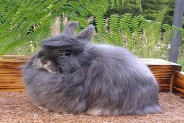 Origen del conejo de raza wooly