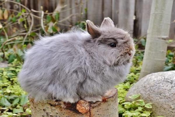 Colores del conejo wooly
