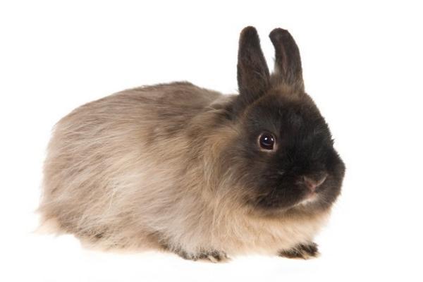 Raza de conejo wooly