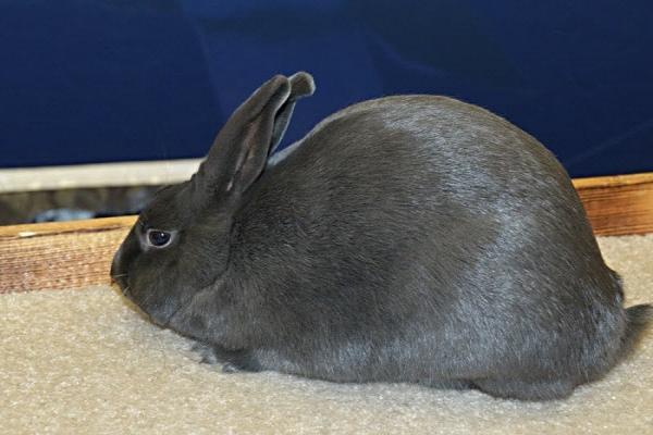 Carácter del conejo la habana