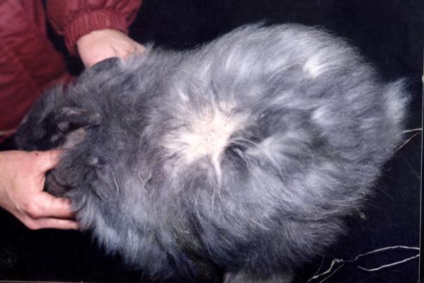 Como es la muda de pelo en conejos