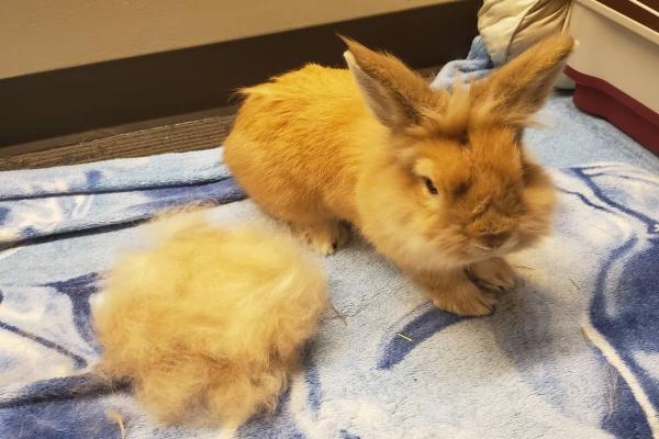 El proceso de muda de un conejo