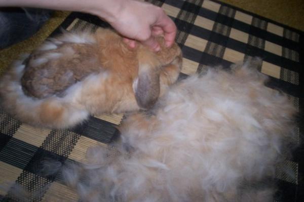 Consejos para lidiar con su conejo durante la muda