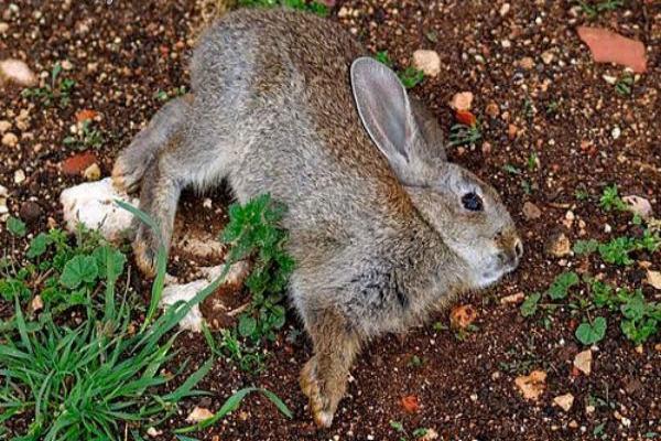 Tratamiento de la enfermedad hemorrágica del conejo