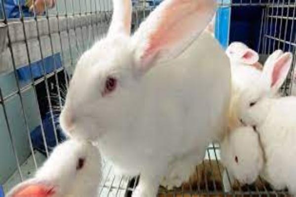 Tularemia en conejos diagnóstico diferencial